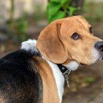 Beagle – rasa psów