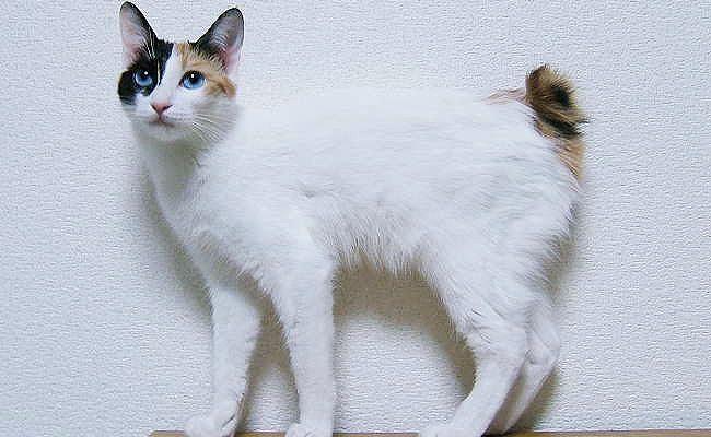 kot japoński bobtail