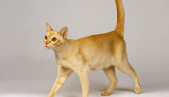 kot cejloński