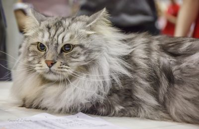 Wystawa kotów rasowych Gdańsk