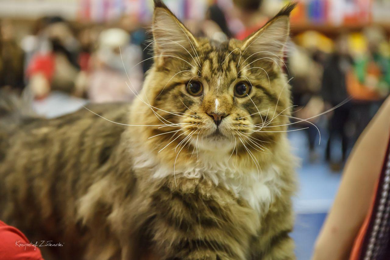 Niewiarygodnie Międzynarodowa wystawa kotów rasowych Gdańsk 2018 YB09
