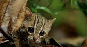Kot Rdzawy - najmniejszy kot świata